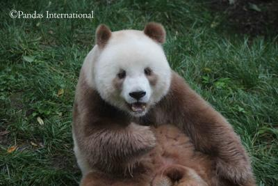 Qizai brown panda