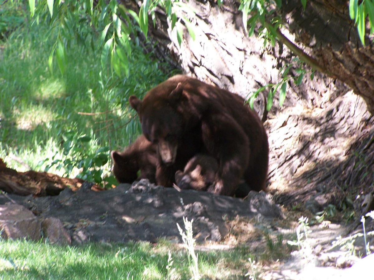 Curious bear family checks out Woodmoor home
