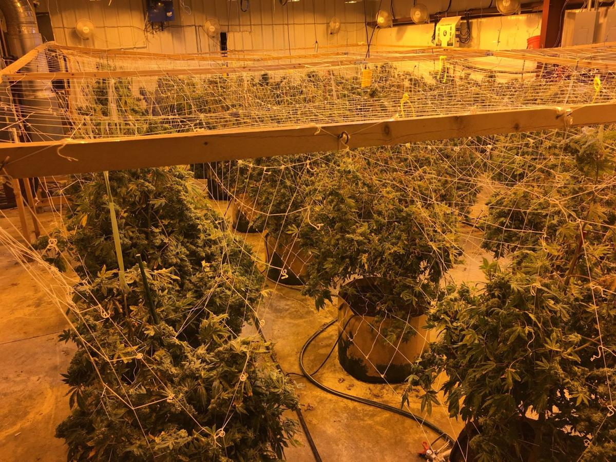 2 illegal marijuana grows busted in El Paso County