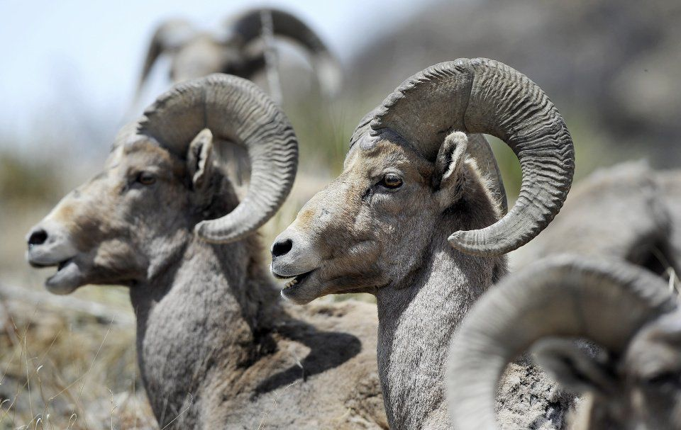 Pikes Pick: Bighorn Sheep Day at Garden of the Gods