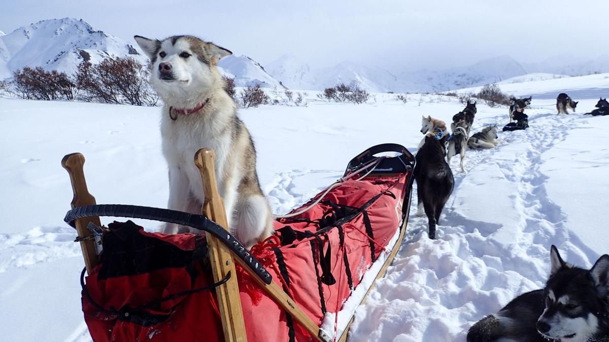 In Alaskan park, winter means paws on patrol
