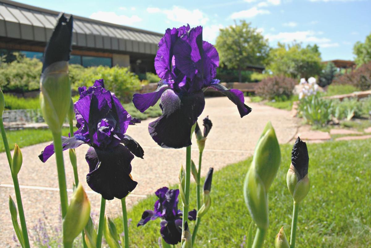 Irises For Everyone Colorado Springs News Gazette