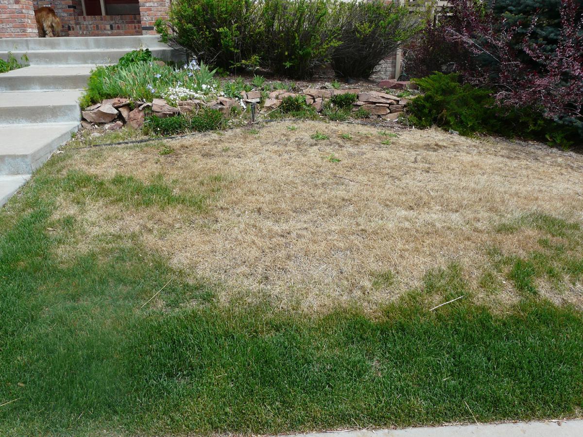 winter watering turf mite damage gazette file.jpg
