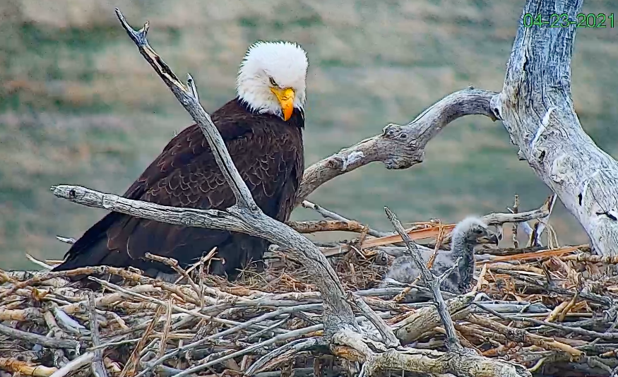 Screen capture from the Standley Lake Eagle Cam hosted by the City of Westminster.