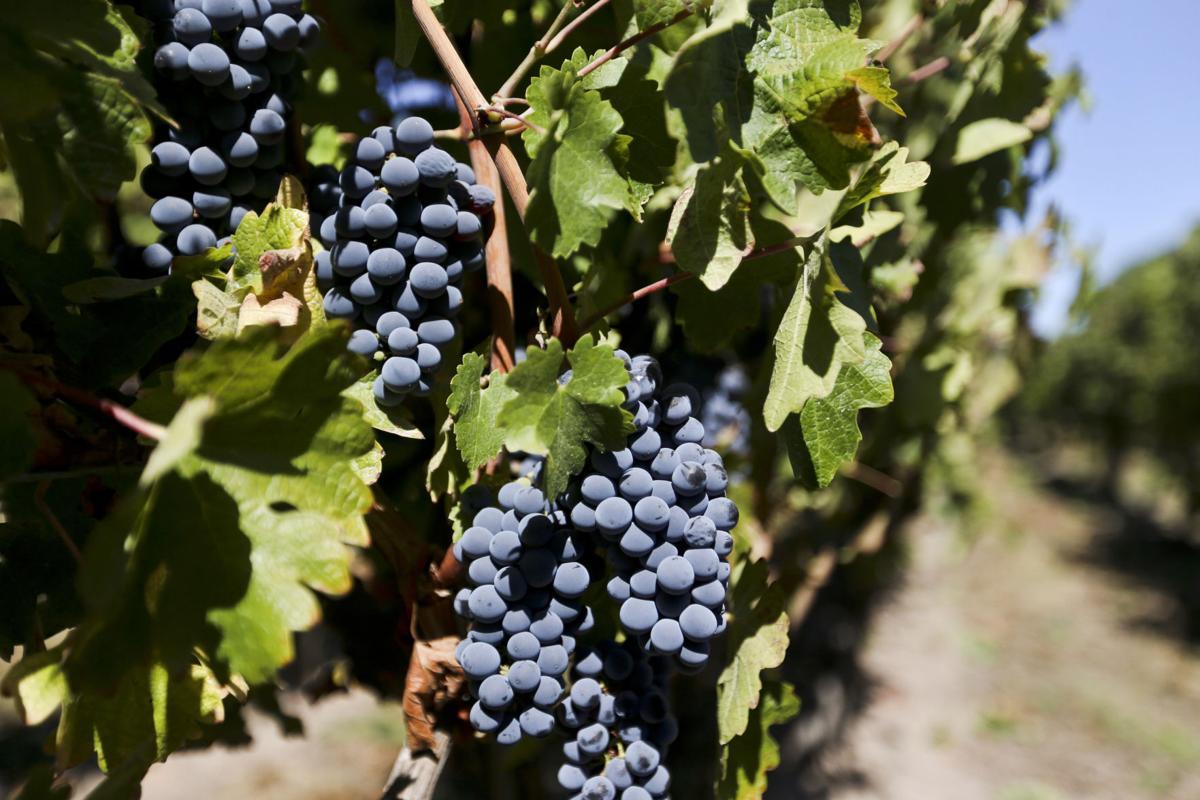 Chile Tourist Grape Harvest