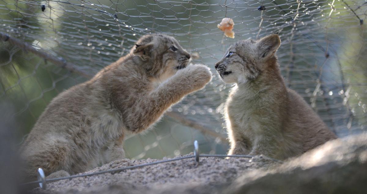 Lynx kittens at CMZ