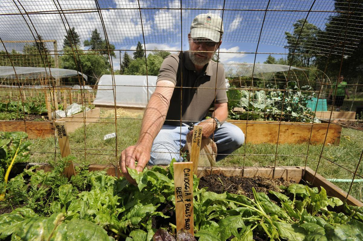 Larry Stebbins Gazette file 2014 at PPUG thinning spinach.jpg