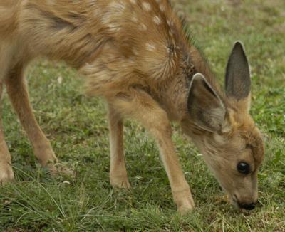 deer feature (copy)