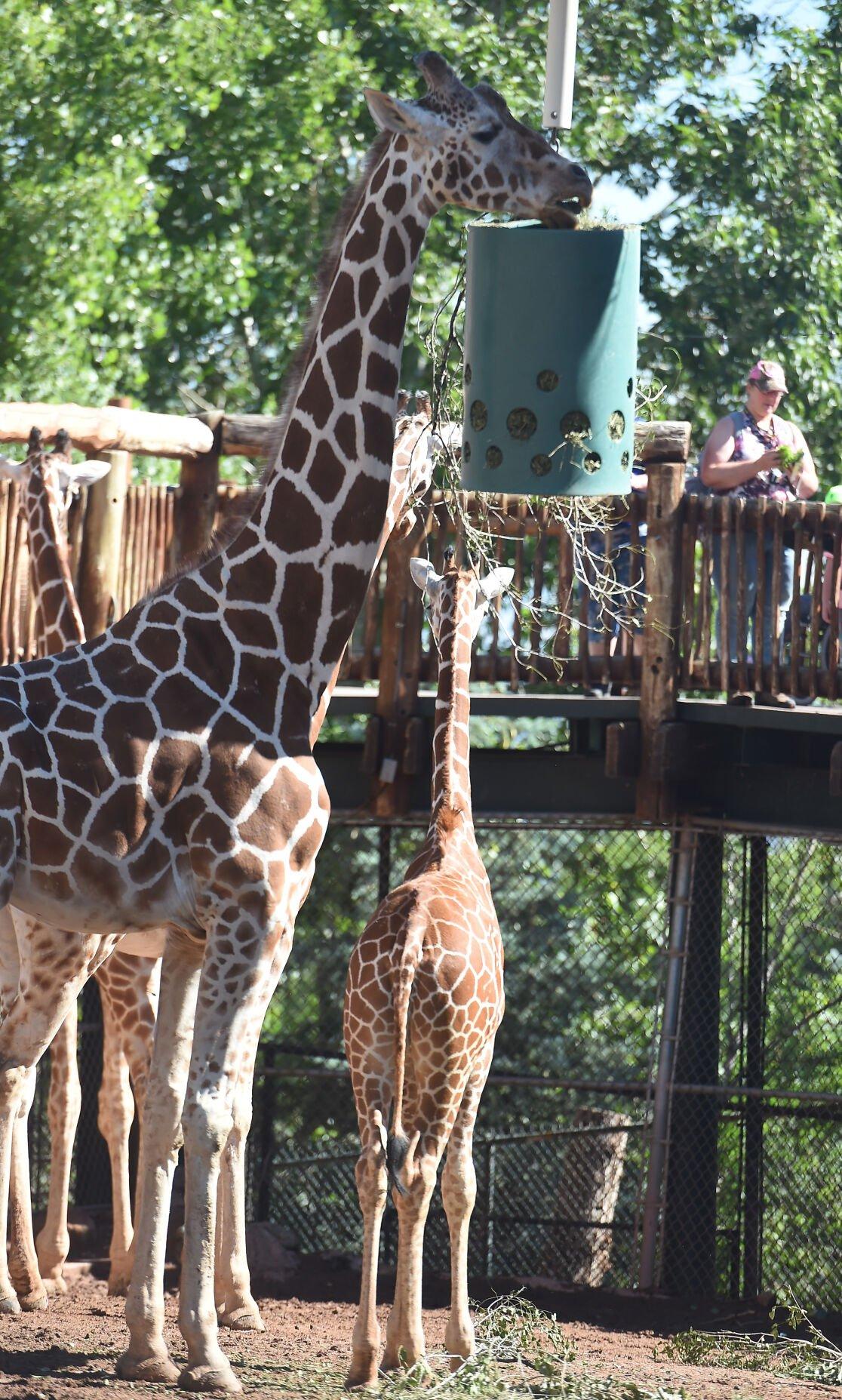 071821-life-giraffes 07.JPG