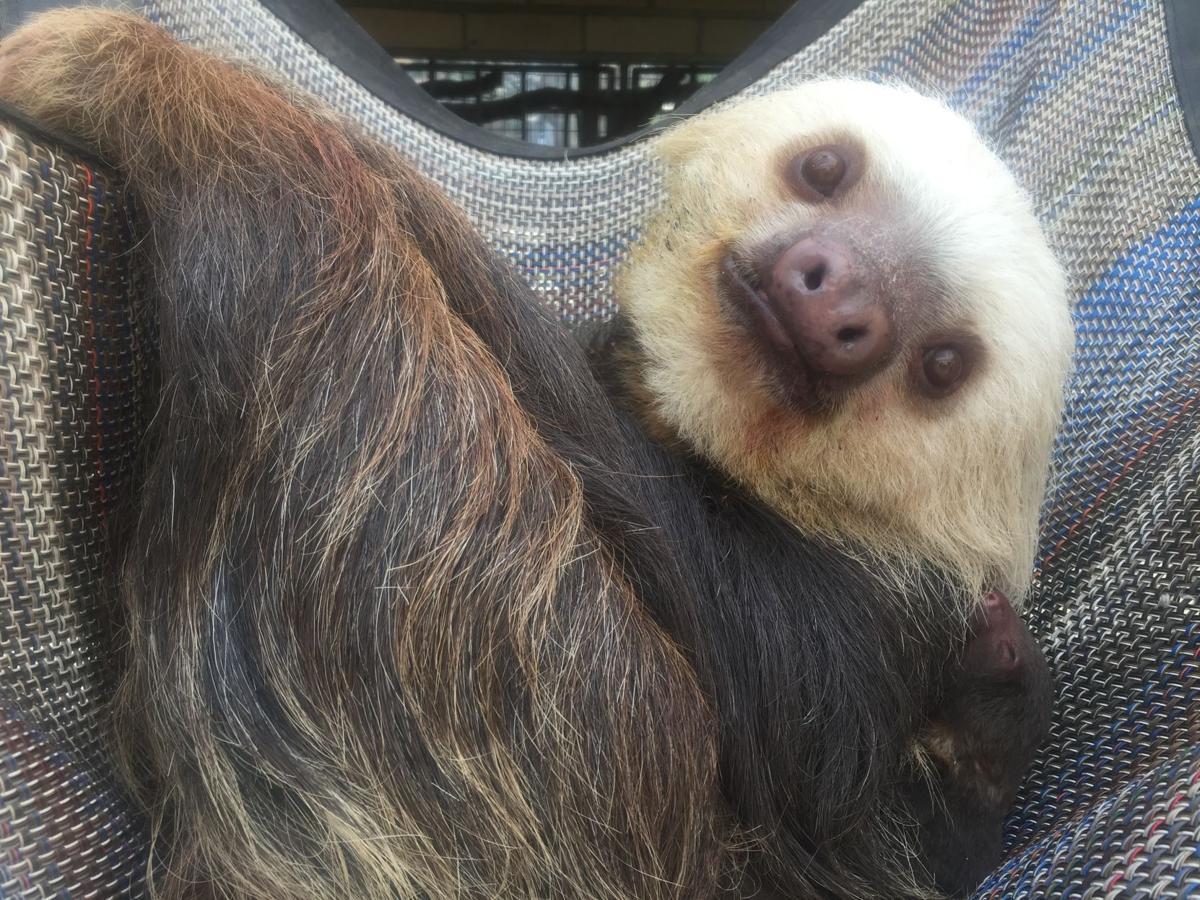 CMZoo Sloth Baby and Mom Chalupa 5.14 (1).JPG