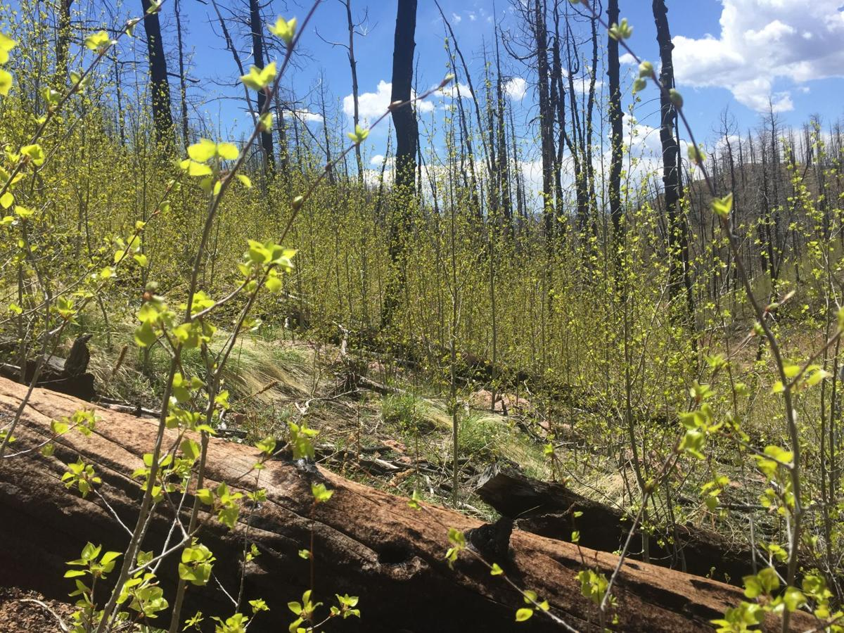 Fire Ecology: Aspens