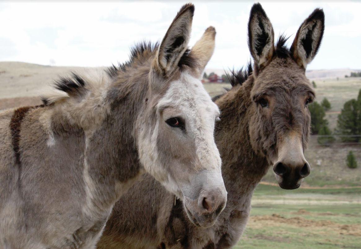 Donkeys let loose in Cripple Creek