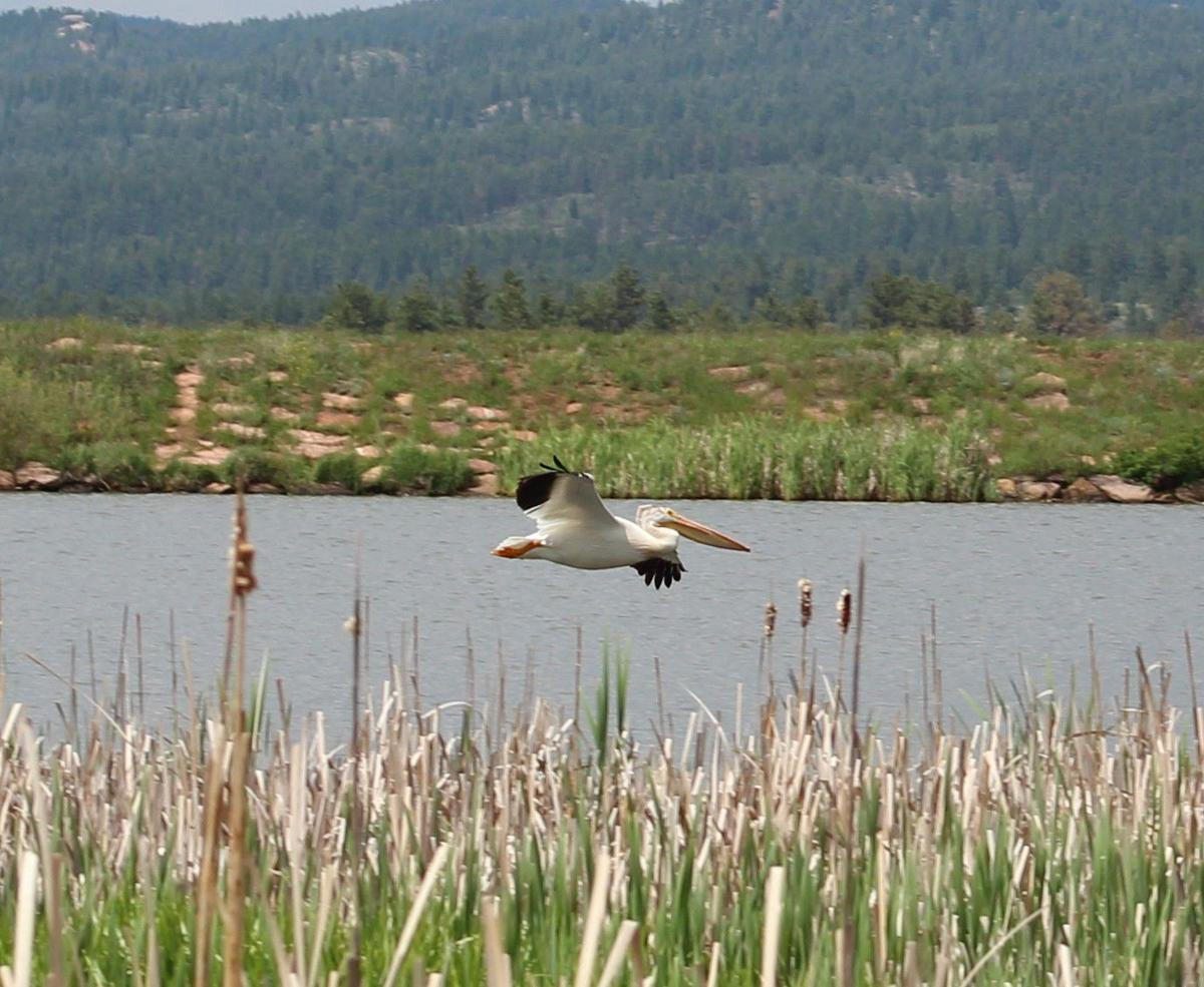 Pelicans cool off in Manitou Lake
