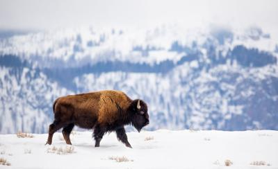 Buffalo on a Mountain Ridge in Winter Photo Credit: KenCanning (iStock).