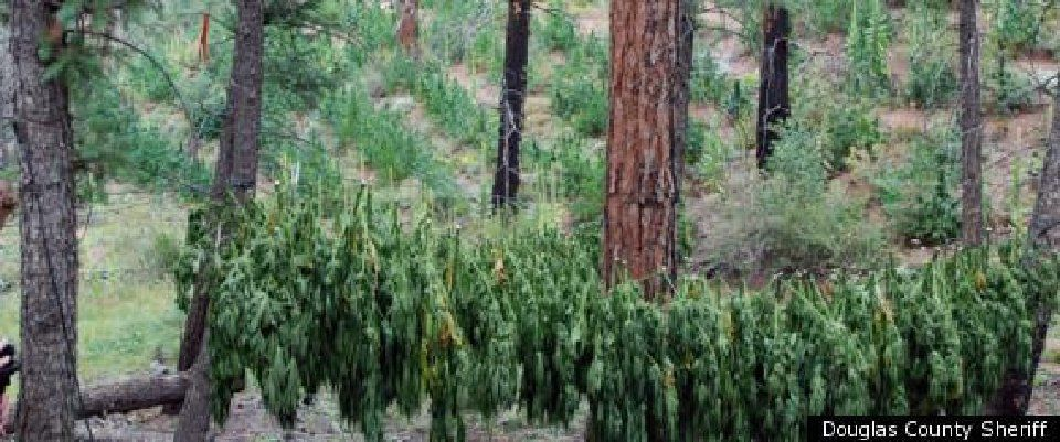 Collateral Impact: Illegal marijuana is spreading on public lands—here's what's concerning officials
