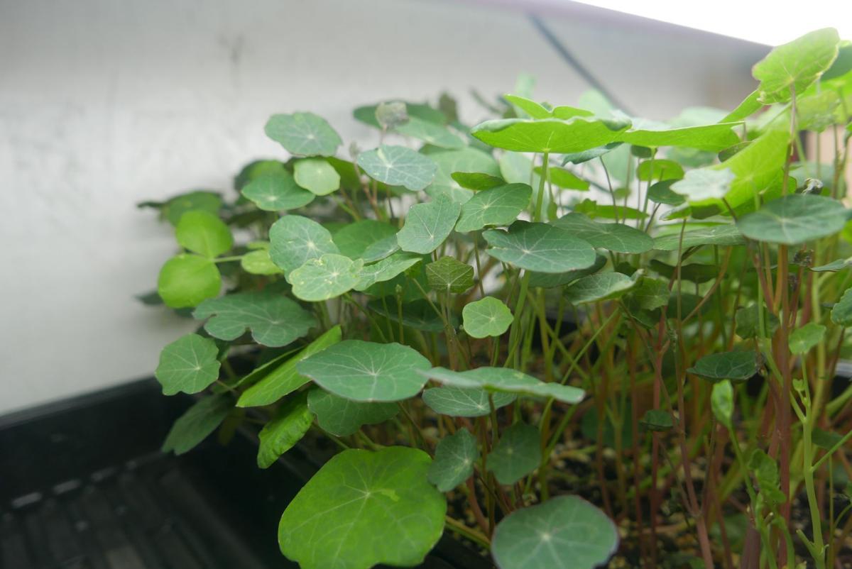 eternal bloom nasturtiums.jpg