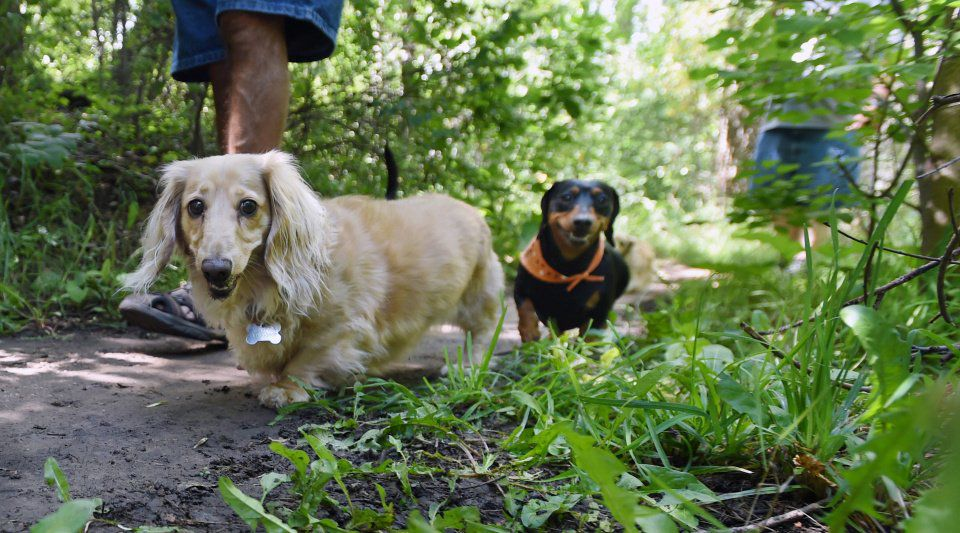 Hot dog is top dog when these Colorado Springs dachshund owners get together