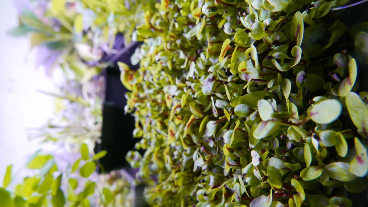 eternal bloom red veined sorrel vertical.jpg