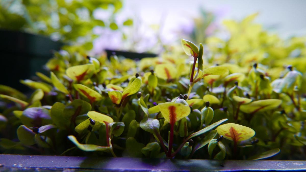 eternal bloom red veined sorrel.jpg