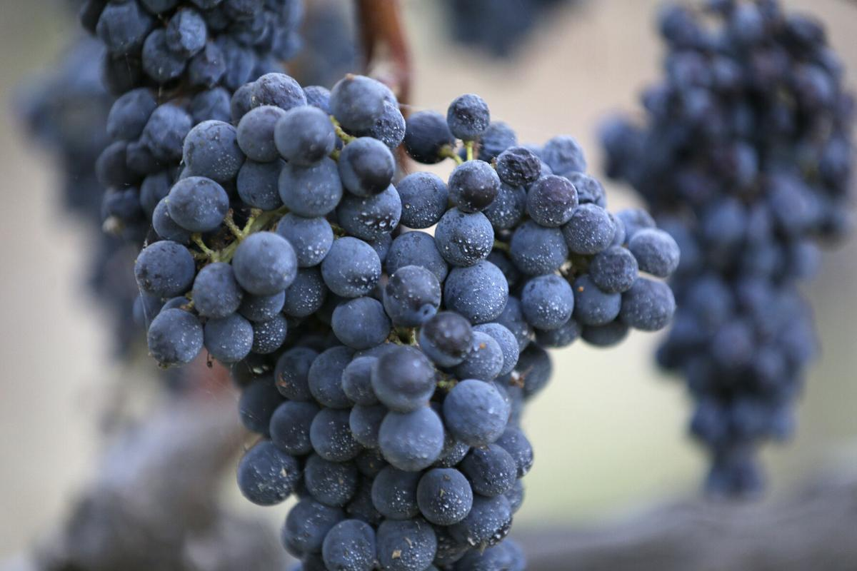 California Wine Harvest