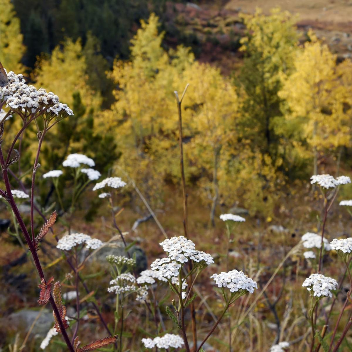 Aspens in Colorado changing early, ready or not | Colorado