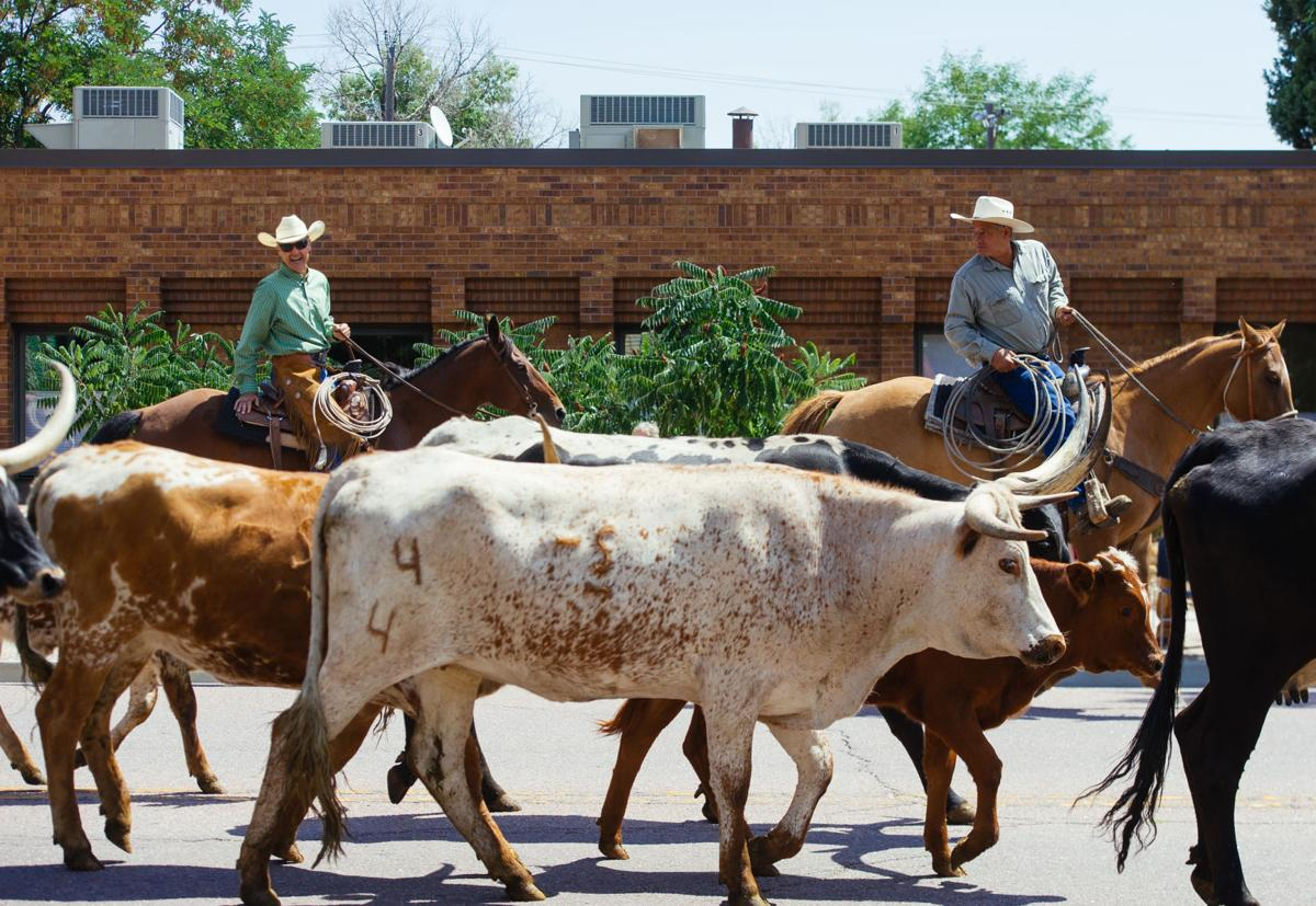 Longhorn Cattle Drive Colorado Springs News Gazette Com
