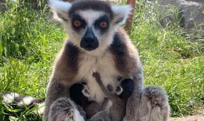 Twin Lemurs