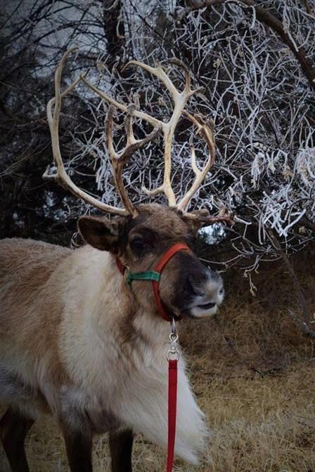 calhan country christmas reindeer.jpg