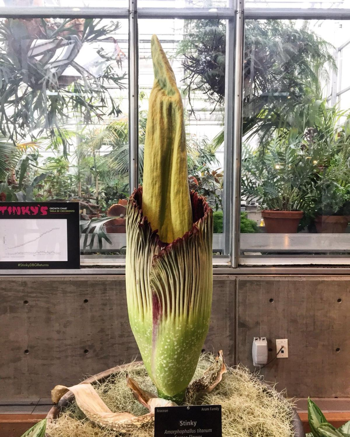 Stinky Corpse Flower Begins To Blooms At Denver Botanic Gardens