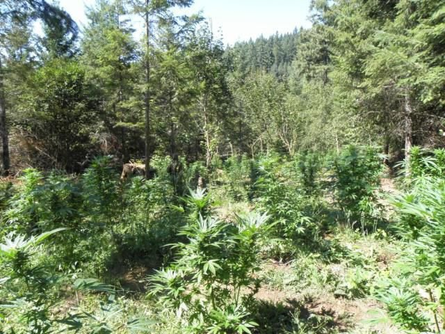 Marijuana grow near Aspen