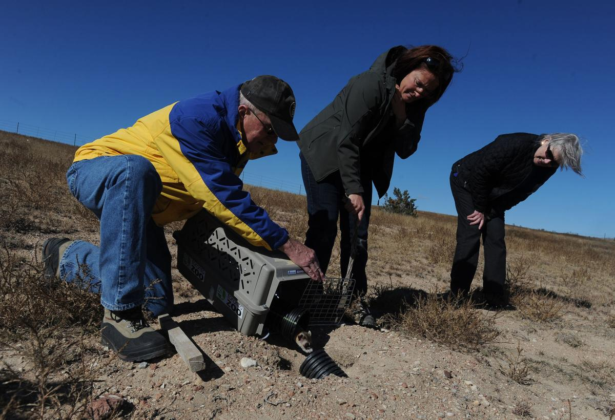 Vic Andrews, left, releases a black-footed ferret into the wild as Dr. Della Garelle, Cheyenne Mountain Zoo's director of conservation and the species survial plan chair, and Sue Andrews watch Wednesday, Oct. 30, 2013, at the Walker Ranch west of Pueblo. About 35 of the captive-bred animals from the Cheyenne Mountain Zoo were introduced to the ranch after new legislation allowed the endangered species to be introduced on private land. (The Gazette, Christian Murdock)