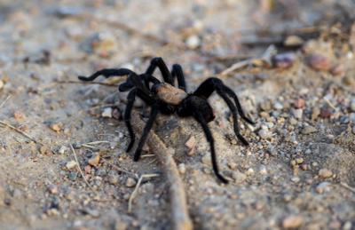 090719-news-tarantulas 02