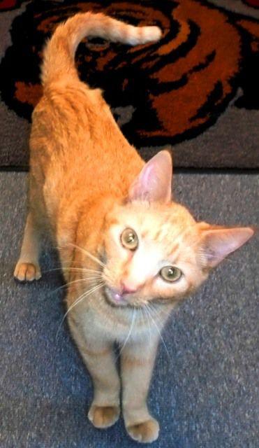 cat-ginger