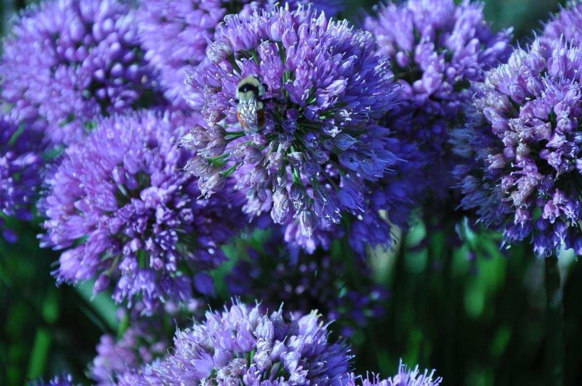 """Year-round gardening, Allium """"Millenium"""""""