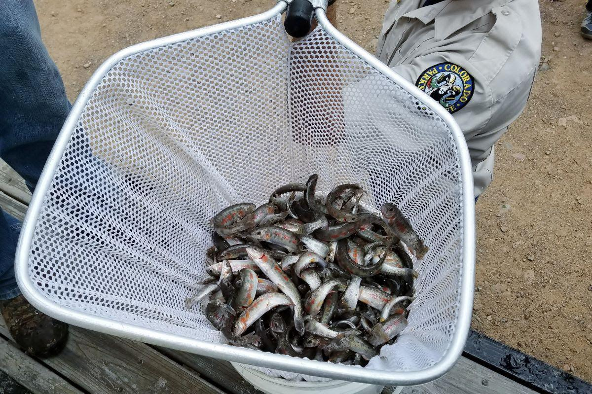 Hayden Creek cutthroat trout