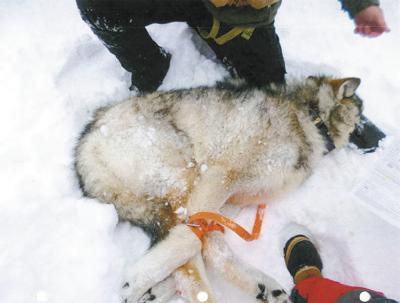 Wolf poaching