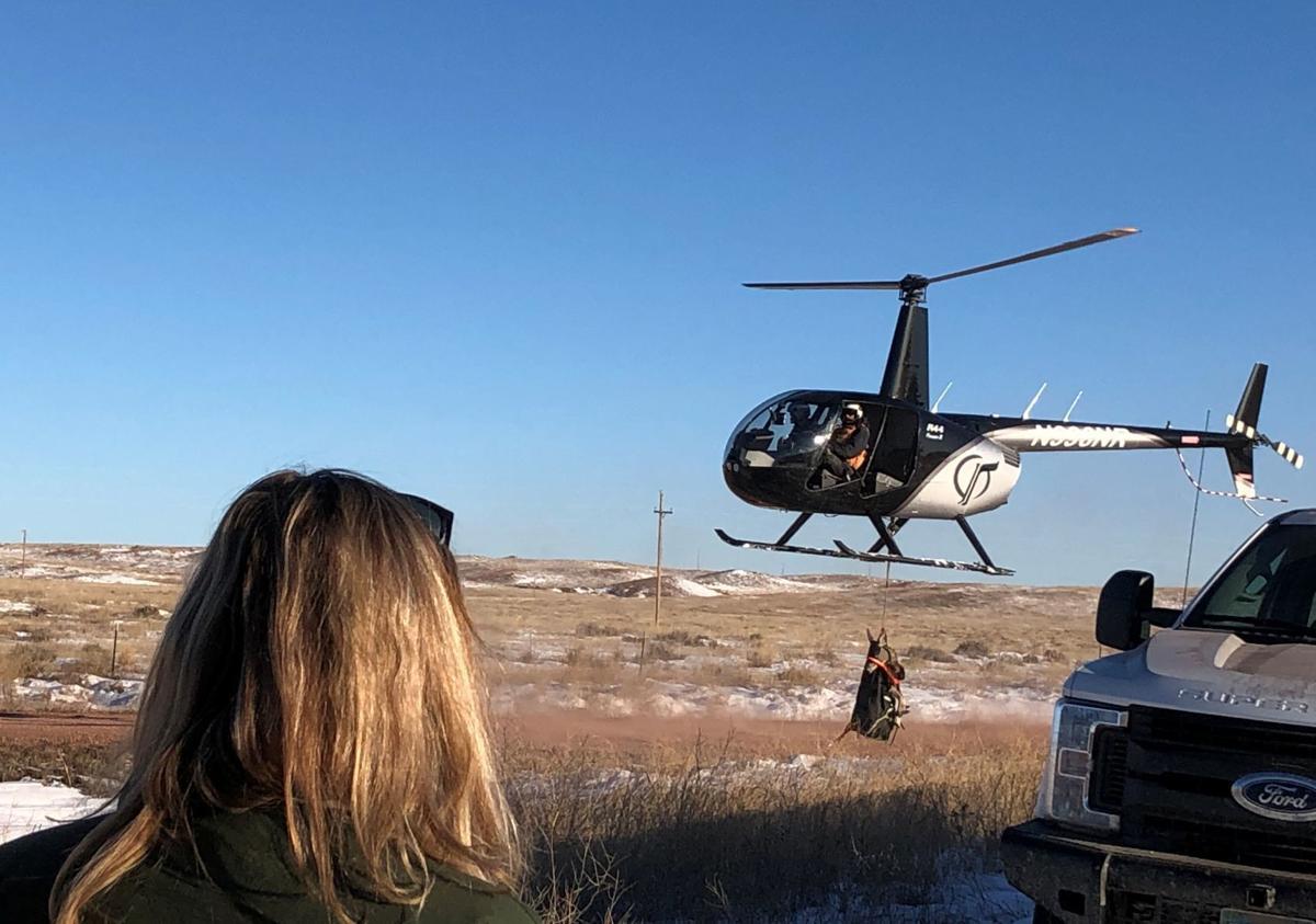 011320-fro-mule deer capture 2JPG.JPG