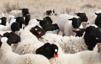 Sheep Market Outlook Good Local News Gillettenewsrecordcom
