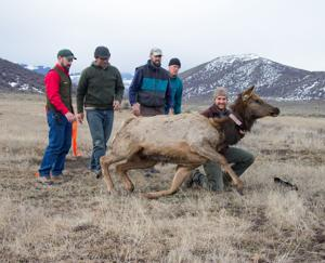UW Research: Elk avoid beetle-killed areas of southern Wyoming forest