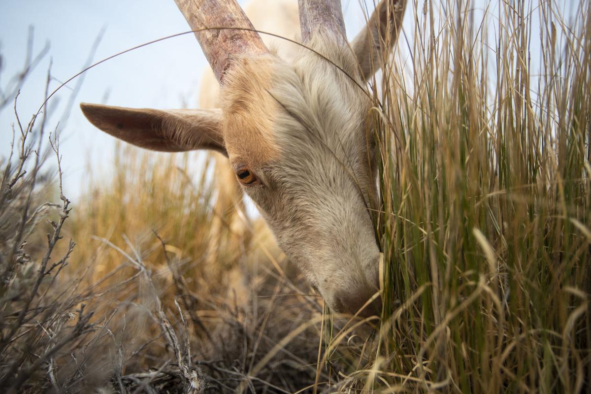 Pack Goats