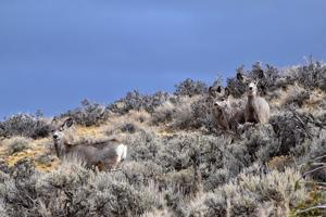 New Research Details Impact of Energy Development on Deer Habitat Use