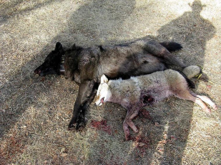 Wolf Like Dog That Killed Livestock