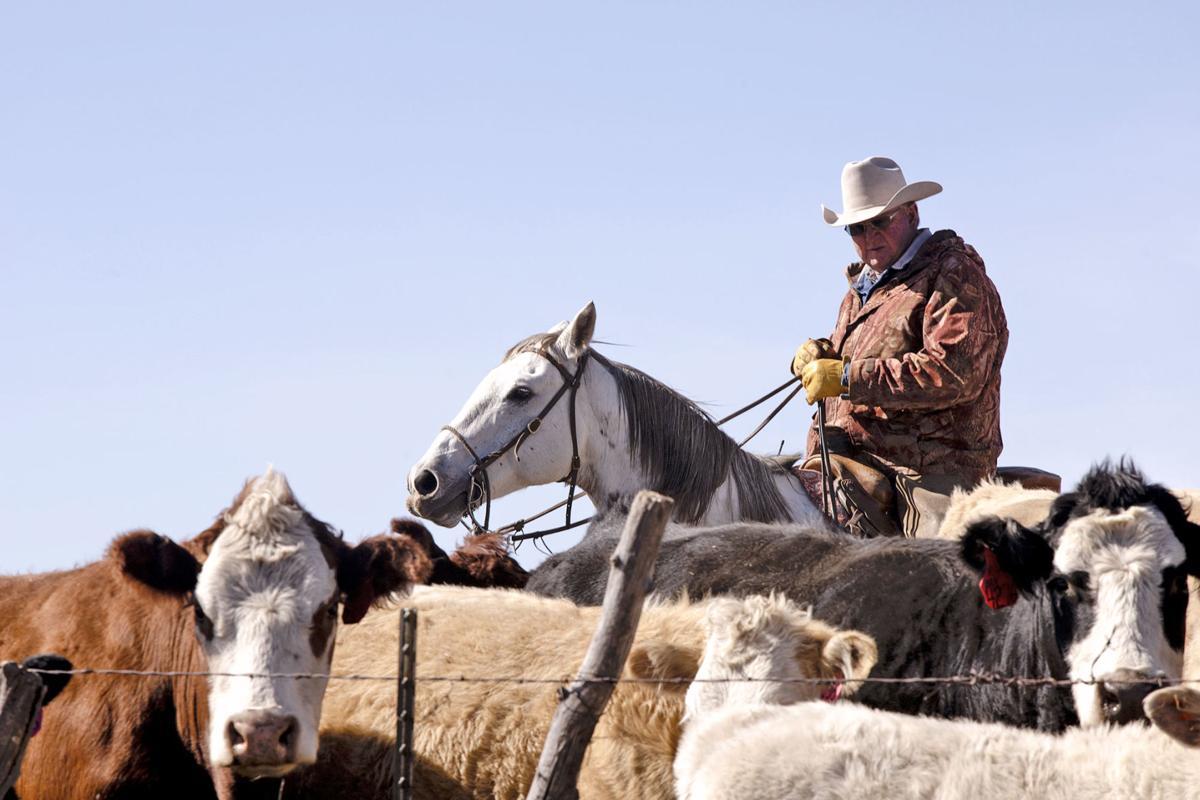 Van Winkle Cattle 08 ML 101019
