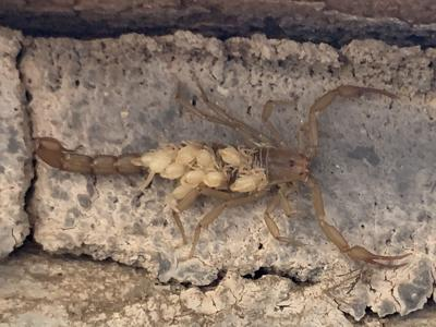 Mother scorpion hides out in monument visitor center