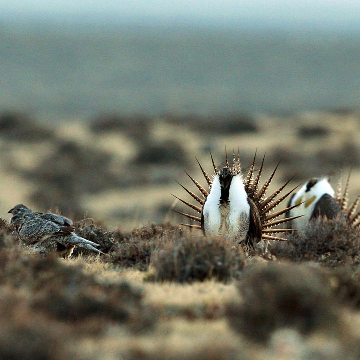 Other states battle over bird, but Colorado to feel effects