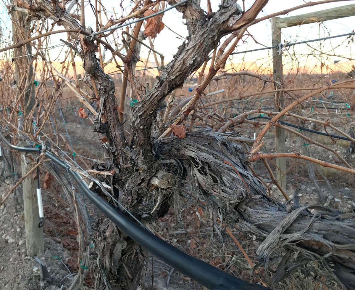 Dry winter creates different problems for vineyards