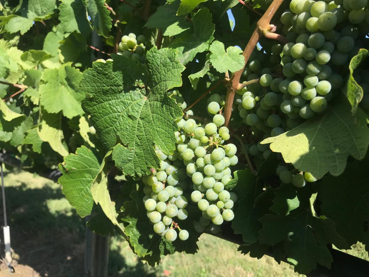 Several bunches of Riesling grapes edge toward maturity in a vineyard on Orchard Mesa. These and other grapes around the Grand Valley are a week or so behind schedule after a cool spring delayed development.