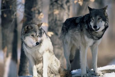 Quick thinking saves hunter, dog from wolf during grouse hunt