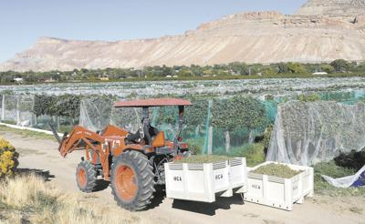 The recent cold front didn't have as adverse an effect on the Palisade wine industry as feared, and swift actions to harvest their crops Thursday should help vineyard owners have a successful year, said Miranda Ulmer, viticulture extension specialist.