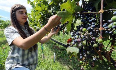 Miranda Ulmer inspects grapes in the vines at the Colorado State University Extension Service at 3070 B 1/2 Road. Ulmer joined the station as a viticulture specialist and has been in the valley since mid-July.